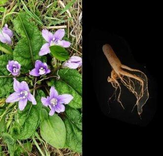 MANDRAGORA - ALIVE PLANT